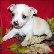 Wonderful Chihuahua Puppies Ready