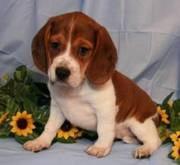 fabulous beagle puppies for caring and loving families