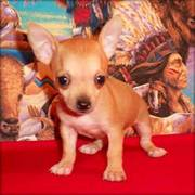 tea cup chihuahua puppy for sale
