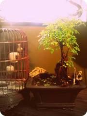 Chinese Elm Bonsai - 10 left