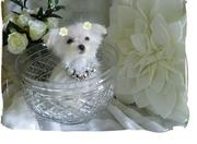 lovely register maltese puppies, male and female