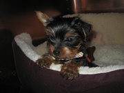Lovely yorkie Babies To Any Loving Family