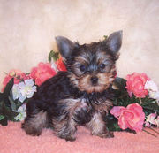 Yorkie puppies for new homes